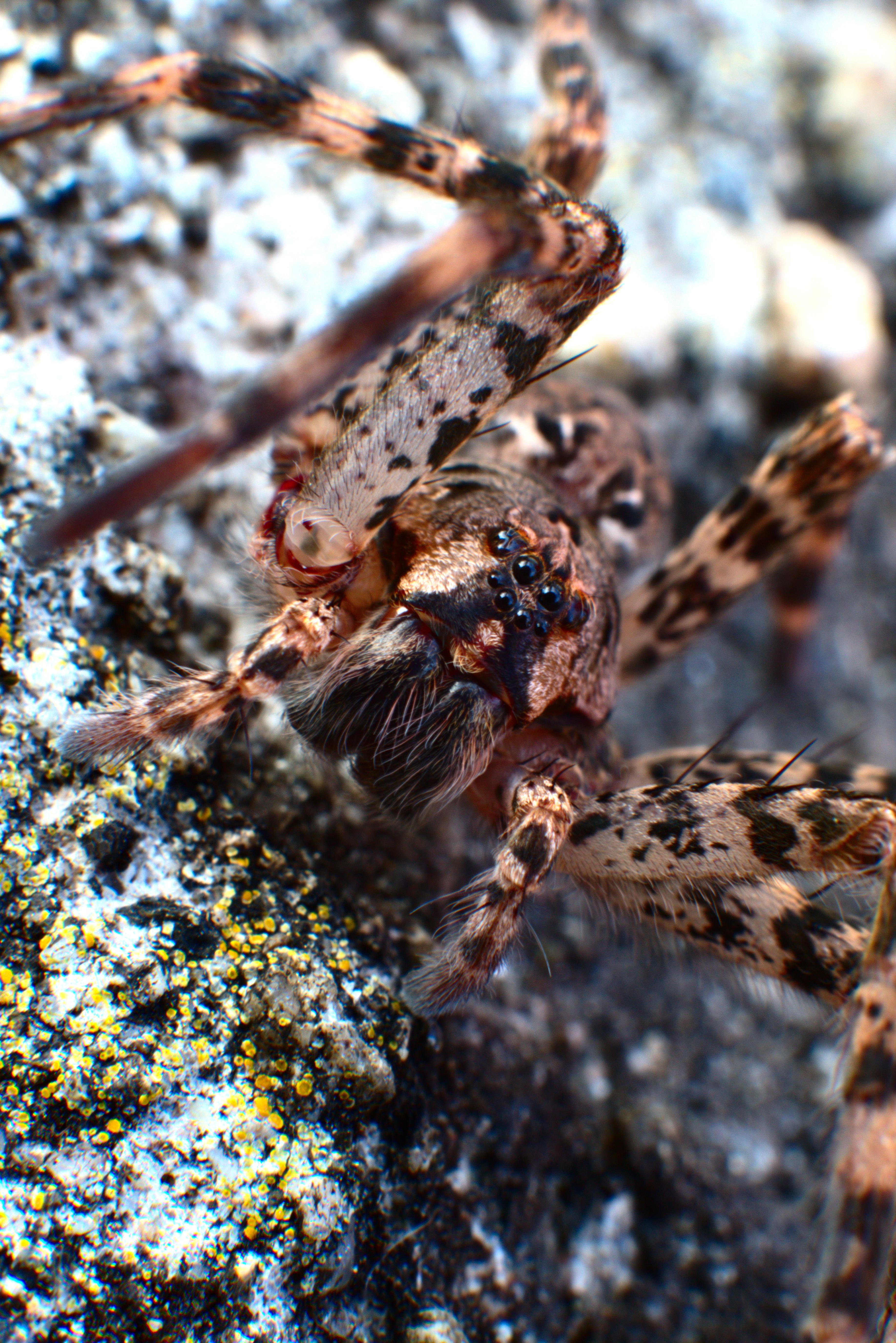 Fishing spider [3670x5496][OC]